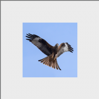 Red Kite Mounted Print FB_05_MM